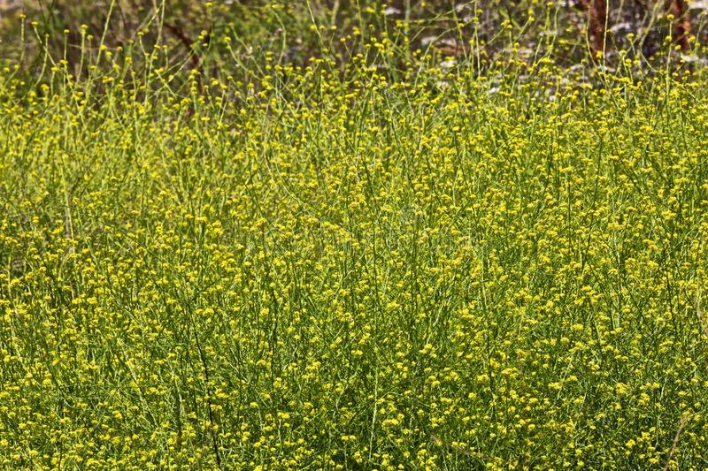 Mustard plant royalty free stock photography