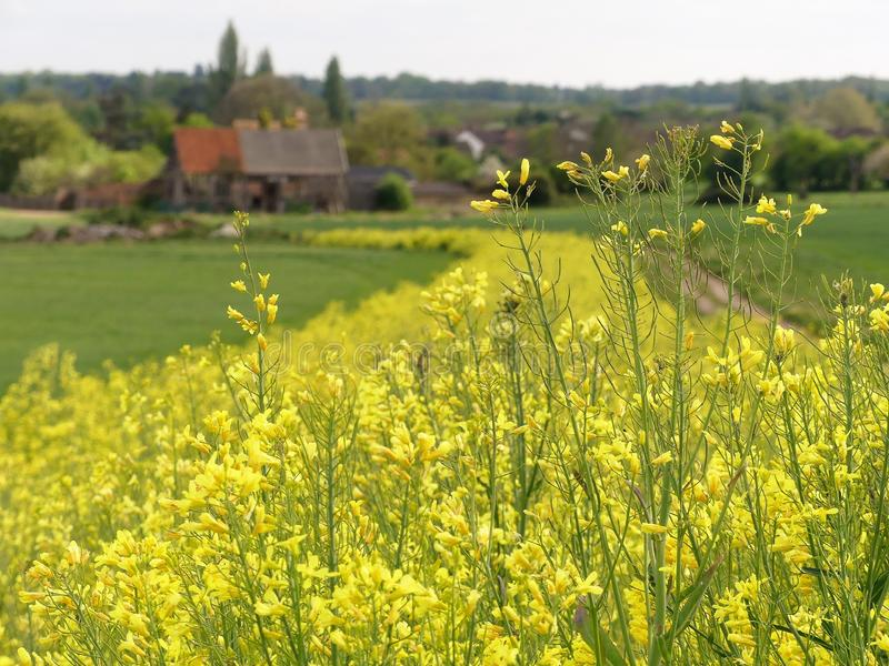Yellow flowering kale, a game and farmland bird cover crop, with blurred 16th century barn in distance. This photo was taken in Rickmansworth, Hertfordshire stock images