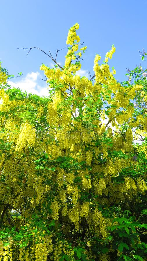 Colorful display of fresh spring flowering shrubs stock image
