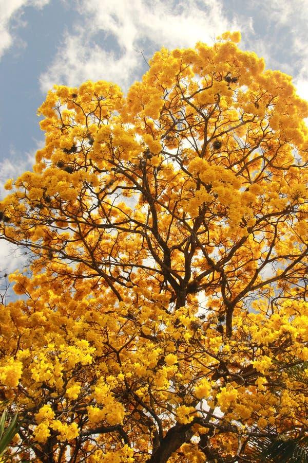 Free Yellow Flowering Tree Tabebuia Chrysanta Araguaney Royalty Free Stock Image - 108326586