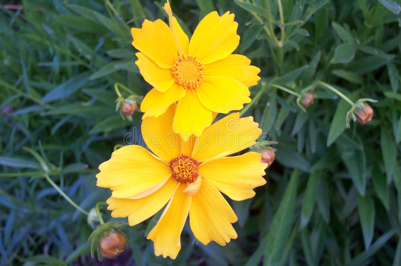 Download Yellow flowers stock image. Image of nature, environment, yellow - 161