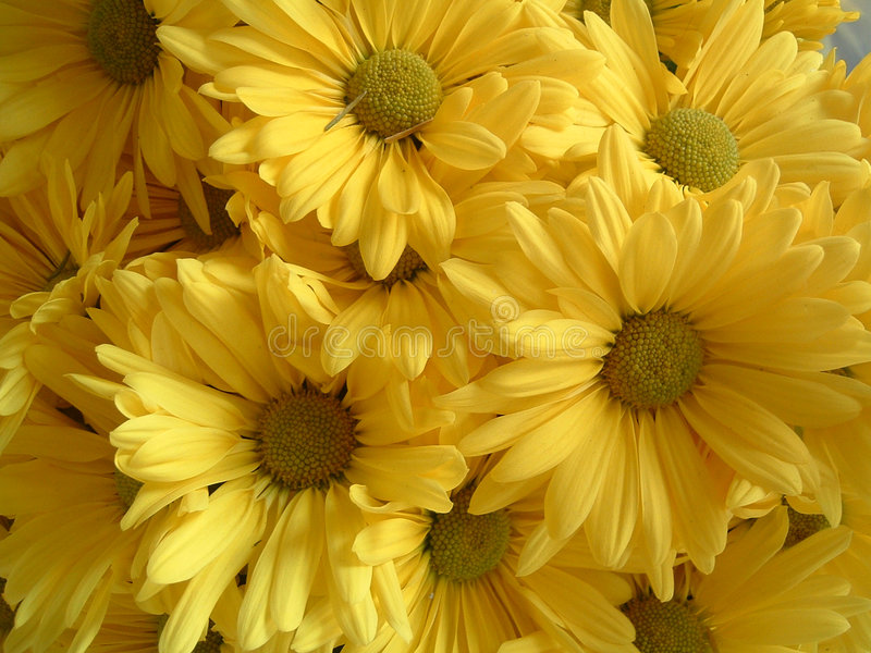 Download Yellow Flowers stock image. Image of mother, sunflower - 117165