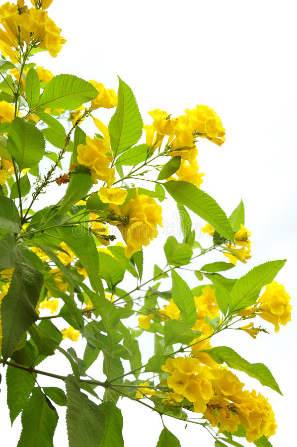 Yellow flowers. Plant against white background stock images