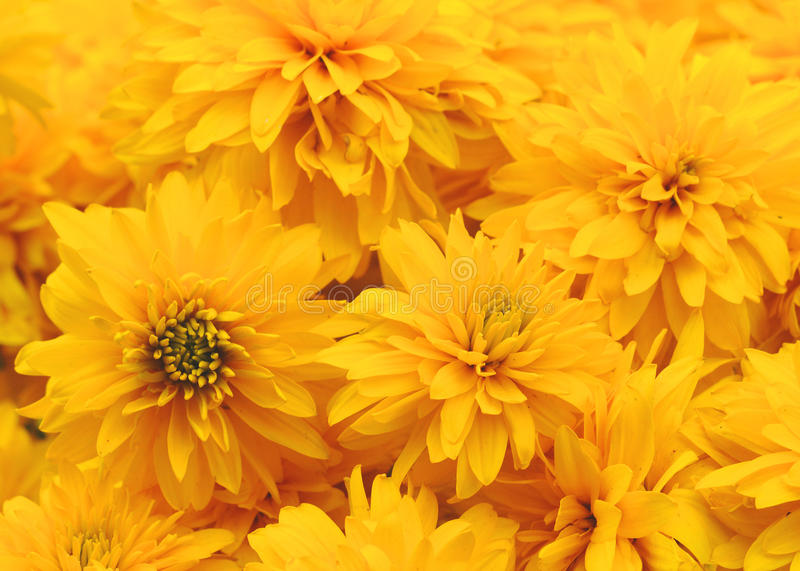 Yellow flowers royalty free stock images
