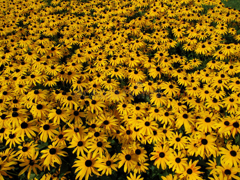 Download Yellow flowers stock image. Image of full, crops, yellow - 15732793