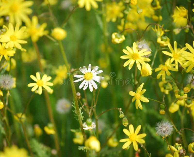 Yellow flowers. Beautiful valley from yellow flowers in solar day stock photo