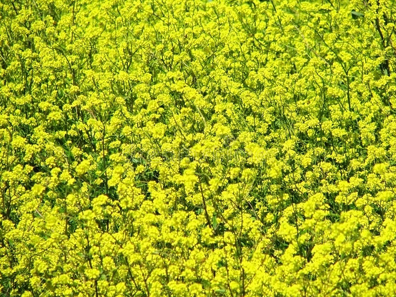 Download Yellow flowers 5 stock photo. Image of green, nature - 11505036