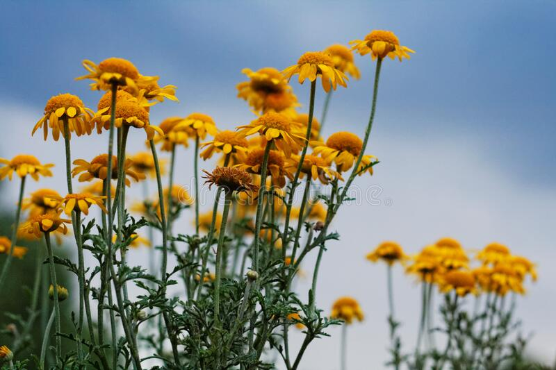 Yellow flowers against blue skies royalty free stock photography
