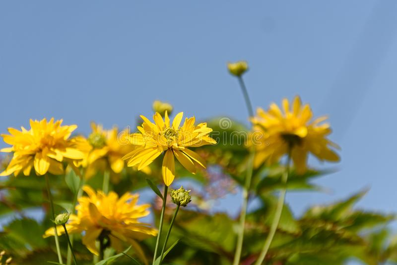 Yellow flowers against blue sky stock image