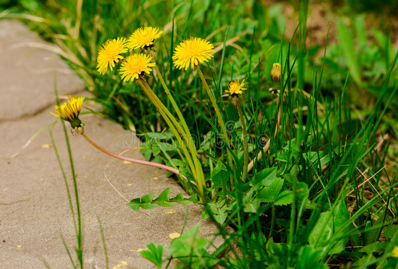 Yellow flowers. Amazing spring yellow flowers ,Romania royalty free stock photography
