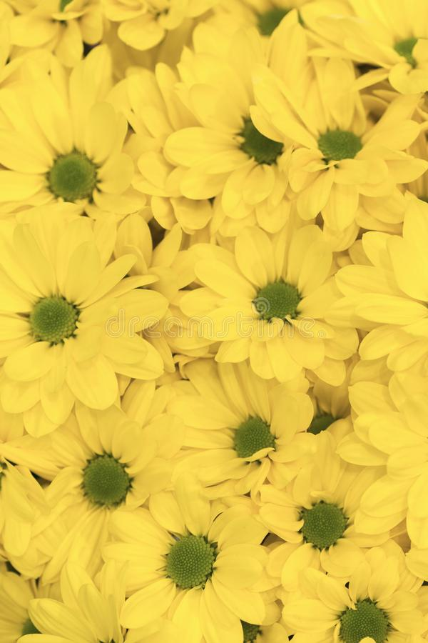 Yellow flowers background. Yellow chrysanthemums daisy flower background pattern bloom. vertical photo.  royalty free stock photo