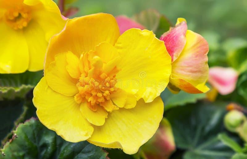 Yellow flowers of balsam. Yellow garden flowerbed of Balsam or Impatiens balsamina stock photo