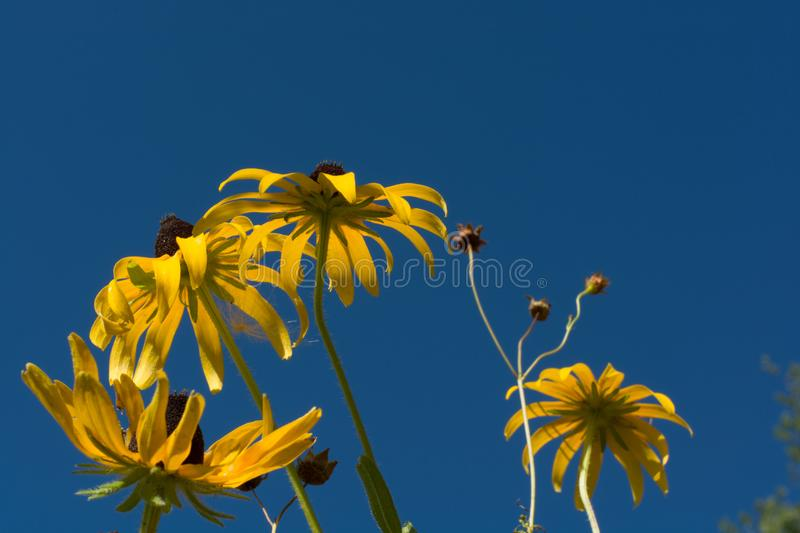 Yellow flowers with beautiful blue sky royalty free stock photography