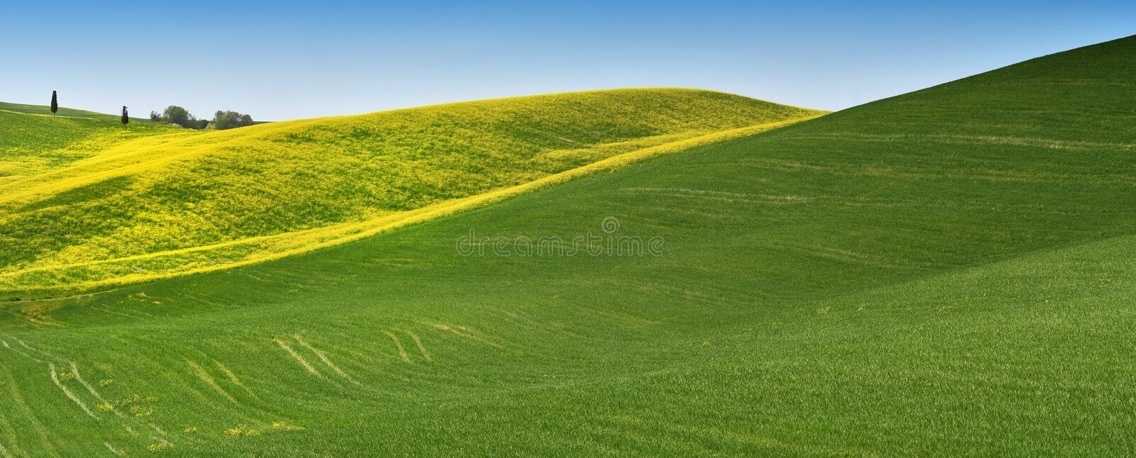 Yellow flowers with beautiful green hills during spring season near San Quirico d`Orcia Siena. Plantation of canola. stock photo
