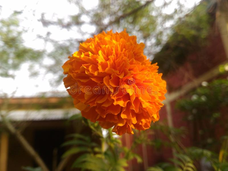 Solitude Marigold royalty free stock photo