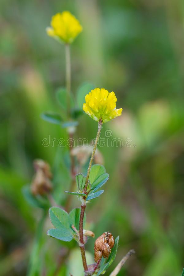 Lesser trefoil. Yellow flowers of Lesser trefoil, also known as Suckling clover or Little hop clover royalty free stock images
