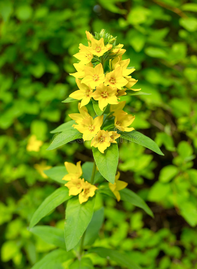 Download Yellow Flowers In Bloom Stock Photo - Image: 15060460