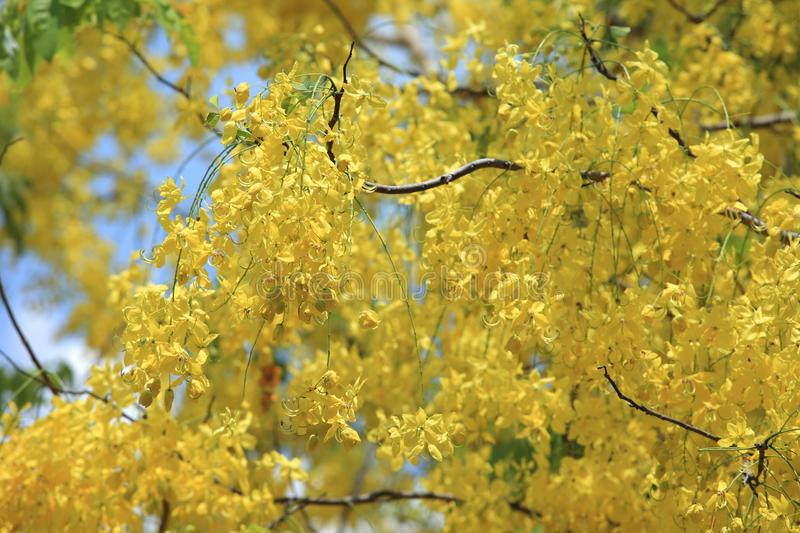 Yellow flowers in bloom summer. Golden shower tree. Cassia fistula yellow flower. Golden Shower Tree with branch for beautiful background stock image