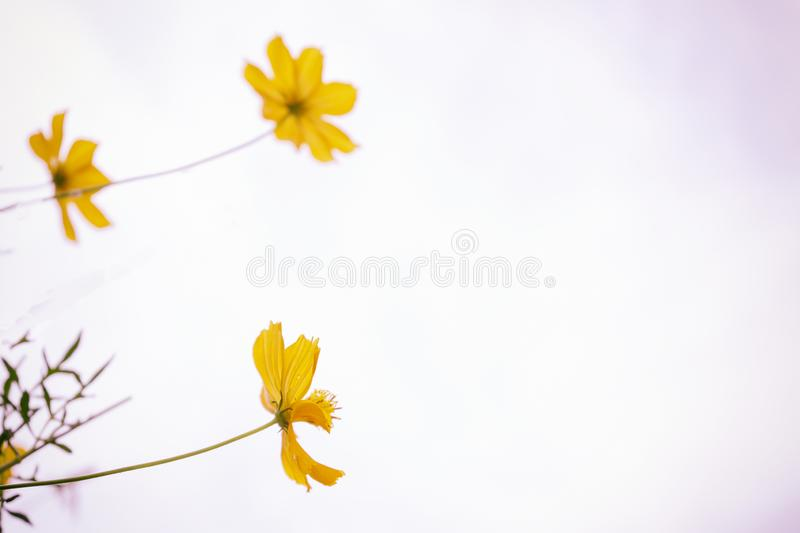 Yellow flowers are blooming on white background royalty free stock images