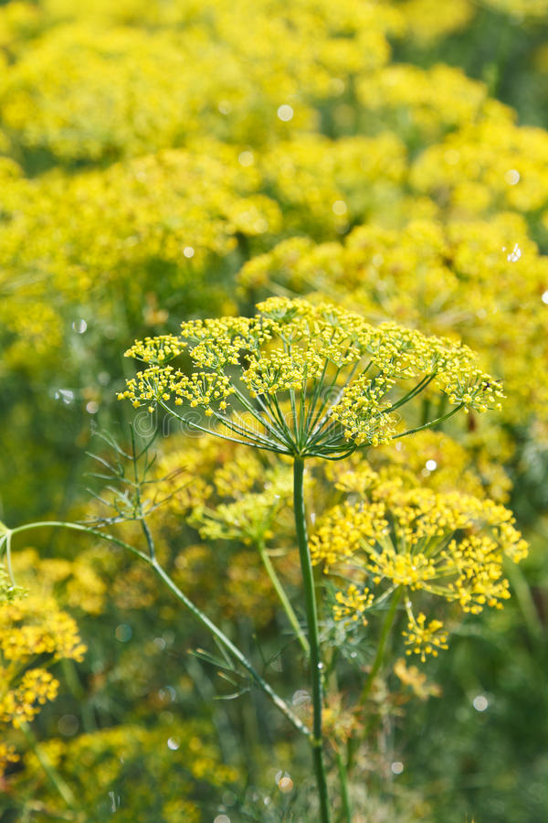 Yellow flowers on blossoming dill in garden royalty free stock image
