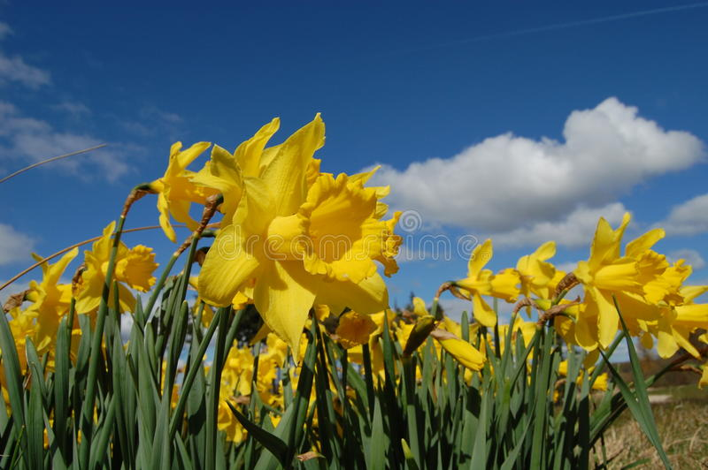 Yellow flowers and blue sky stock image