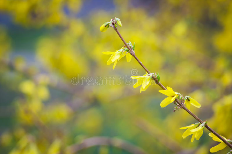 Yellow flowers on the branch. Yellow flowers on a flower background with boke royalty free stock images