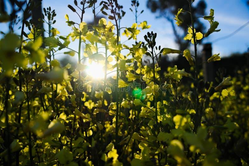 Yellow flowers of broccoli stock image image of background group download yellow flowers of broccoli stock image image of background group 113657087 mightylinksfo