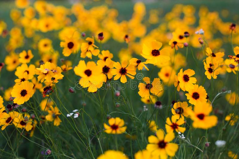 Brown eyed Susan - yellow flowers in a meadow. Yellow flowers with brown center called brown eyed Susan, popular in Texas royalty free stock photo