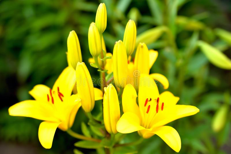 Yellow flowers and buds against the background of green leaves royalty free stock photo