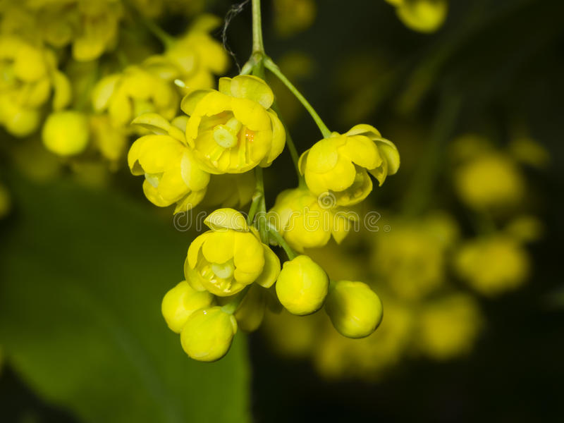 Yellow flowers and buds cluster on blooming Common or European Barberry, Berberis Vulgaris. With bokeh background macro, selective focus, shallow DOF royalty free stock photography