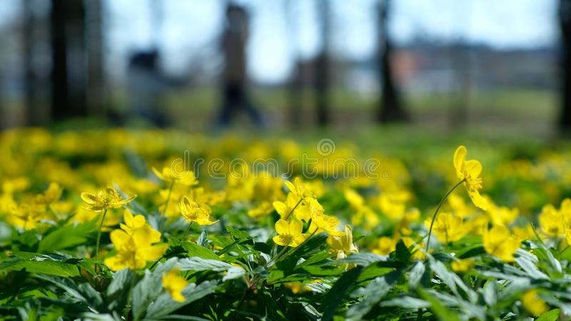 Yellow flowers buttercup caustic in spring in the park amid a blurred family on a sunny day. Yellow flowers buttercup caustic in spring in the park amid a royalty free stock photography