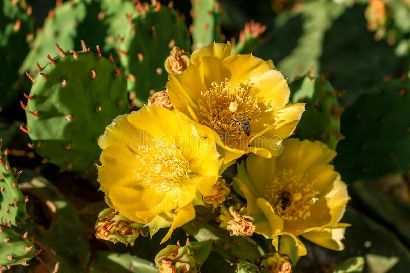 Yellow flowers on a cactus are blooming bright color royalty free stock images