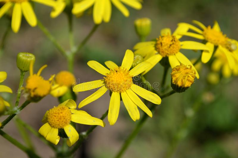 Yellow flowers. Chamomile. royalty free stock photos