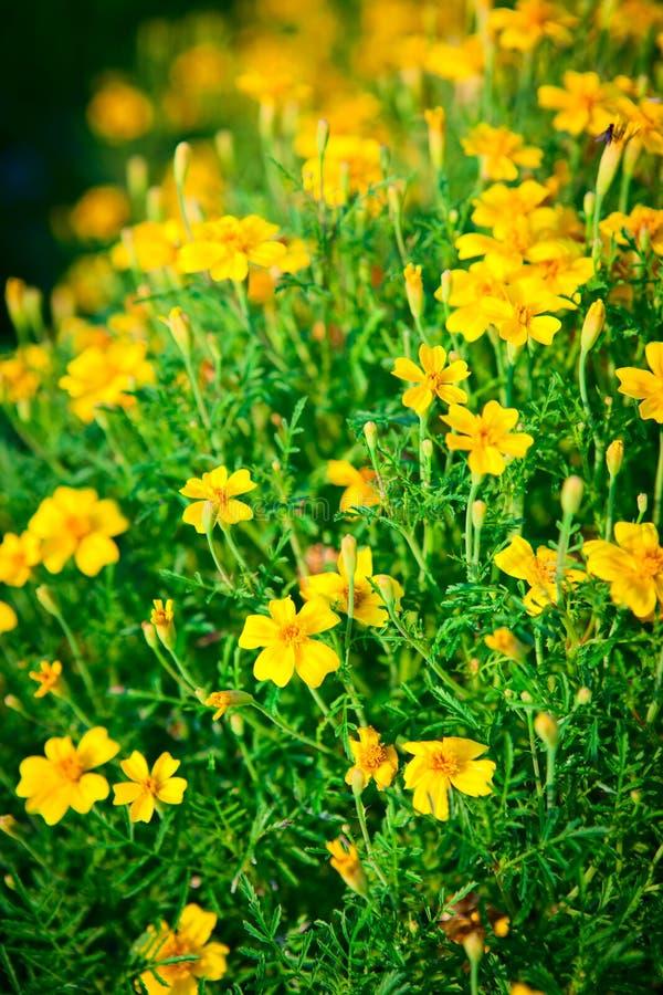 Yellow flowers Chernobrivtsev in the garden. stock photos