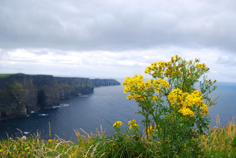 Yellow flowers in cliffs of moher ireland stock image image of download yellow flowers in cliffs of moher ireland stock image image of cliffs mightylinksfo Images