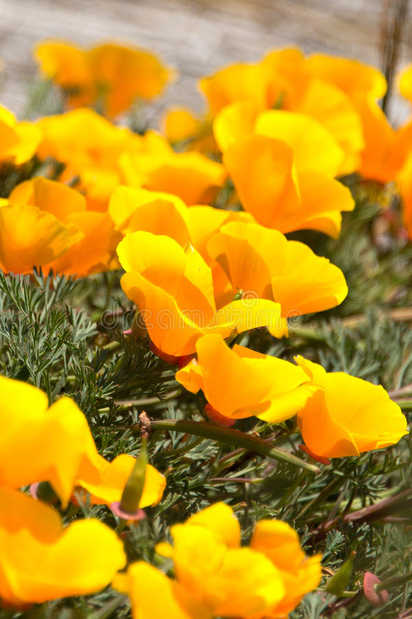 Yellow Flowers. Close-up of yellow flowers, San Francisco, California, USA stock photo