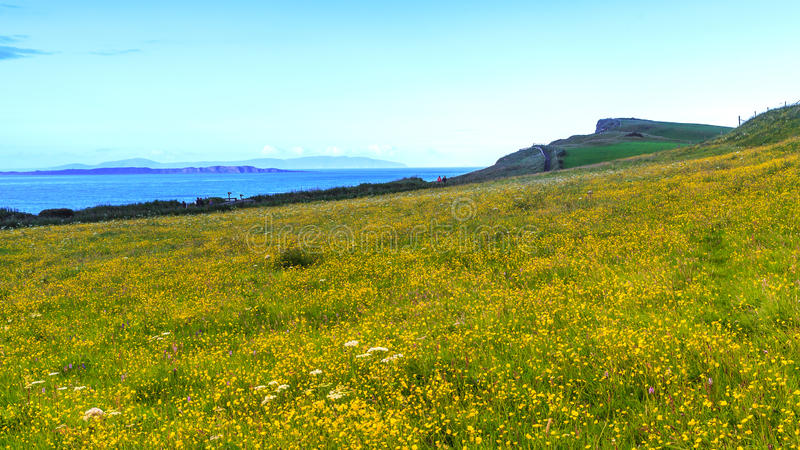 Yellow flowers on coast field. royalty free stock photography