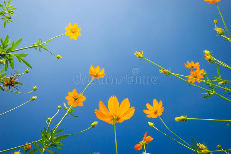 Yellow flowers. Yellow Cosmos with green leaves against the blue sky in Garden. stock photo