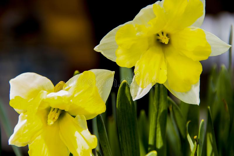 Yellow flowers of daffodils in the garden. Gardening is like a hobby royalty free stock photography