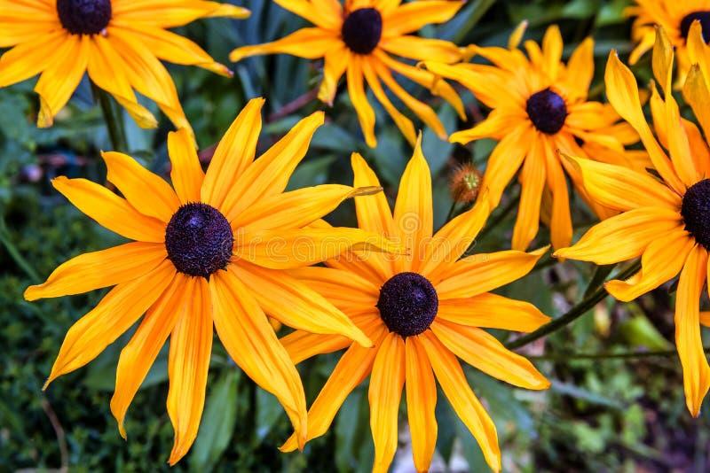 Yellow flowers of Echinacea stock photo