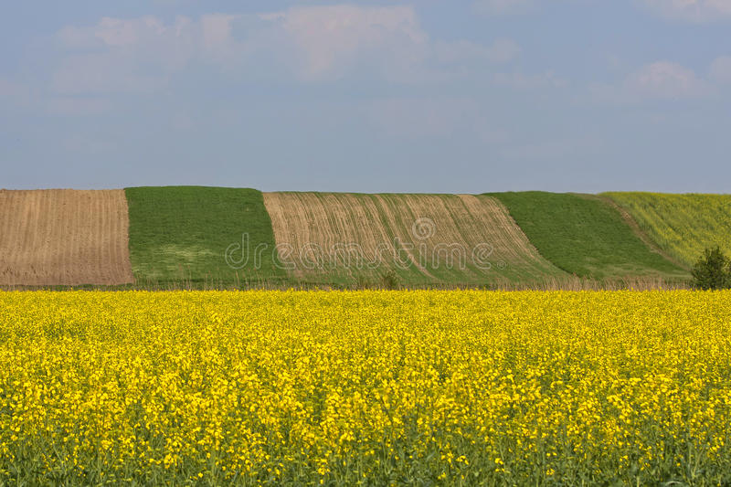 Download Yellow flowers field stock photo. Image of grow, flowers - 23401158