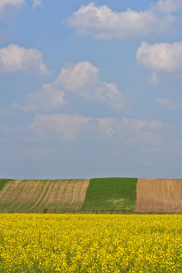 Yellow flowers field