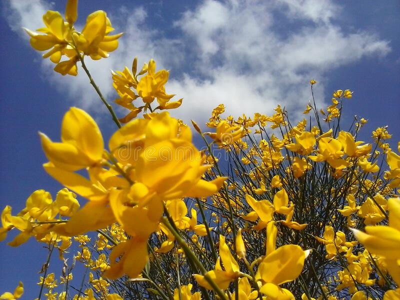 Yellow flowers in field royalty free stock images
