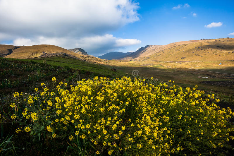 Yellow flowers. In the foreground in an Ecuadorian Andean landscape royalty free stock image