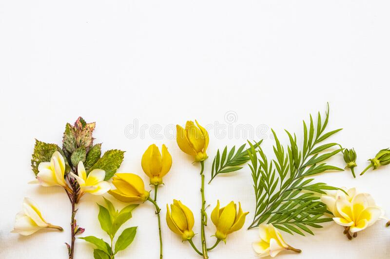Yellow flowers frangipani with ylang ylang local flora of asia arrangement flat lay postcard style. On background white wooden royalty free stock photos