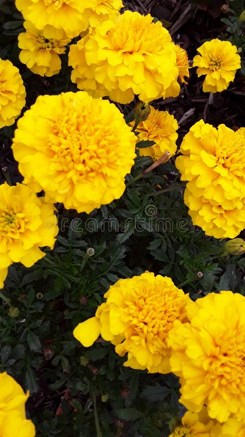 Yellow Flowers in full bloom stock photos
