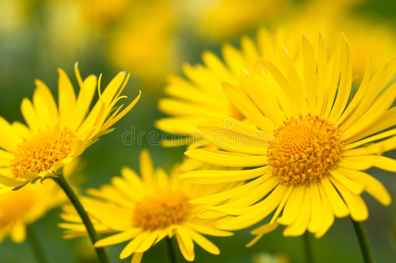 Yellow flowers in garden royalty free stock photo