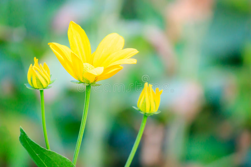 Yellow flowers. In the garden royalty free stock image