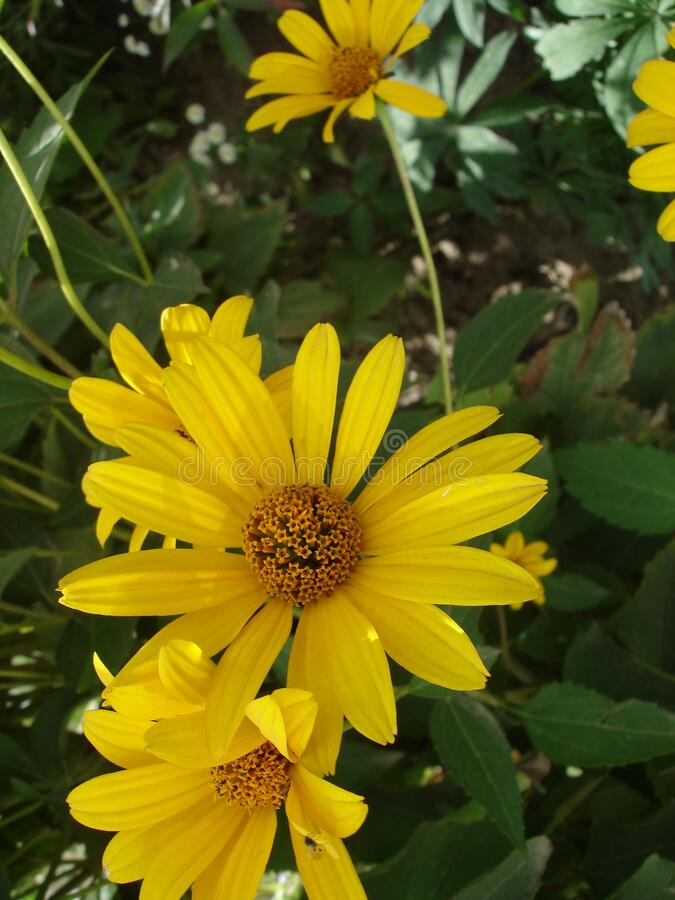 Yellow flowers in the garden close-up royalty free stock photography