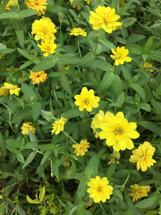 Yellow flowers in the garden royalty free stock photos